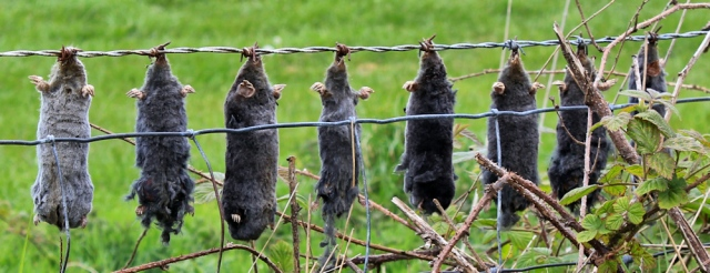 36 dead moles, Ruth's coastal walk, The Rhins, Galloway