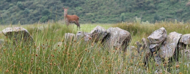 40 deer, Ruth Livingstone