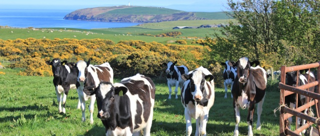 41 cows, Mull of Galloway, Ruth Livingstone hiking