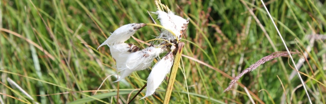 11 cotton grass plant, Ruth hiking in Scotland, Ayrshire Coastal Path