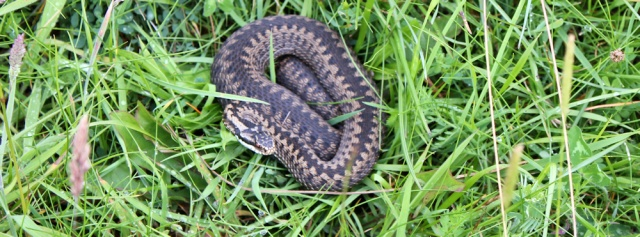 14 adder beside the A77, Ruth walking the Ayrshire Coastal Path, Scotland