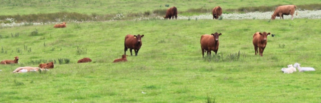 16 cows and calves, Ruth Livingstone walking in Scotland
