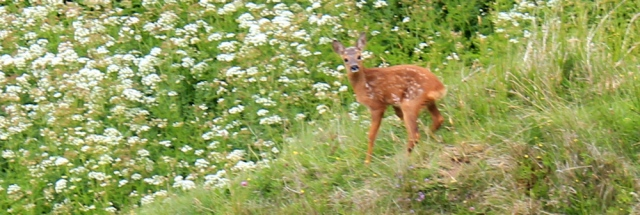 26 frightened fawn, Ruth hiking the Ayrshire Coastal Path, Scotland