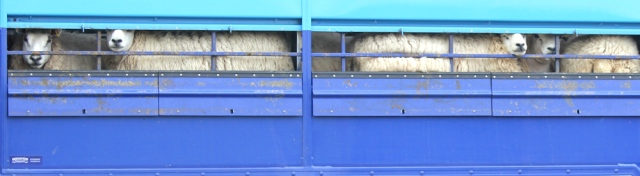 34 sheep in container truck, Ruth hiking the Ayrshire Coastal Path, Scotland