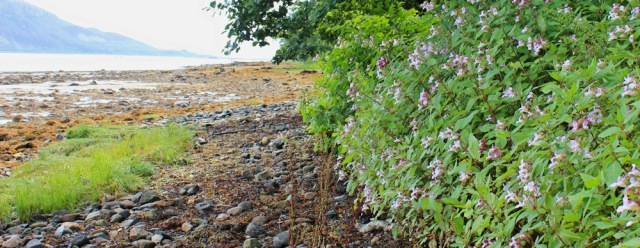 07 Himalayaan Balsam on beach, Lamlash Bay, Arran, Ruth Livingstone