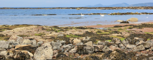 07 swans in sea, Ruth walking the Scottish coast to West Kilbride