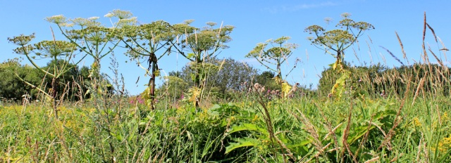 08 giant hogweed, Ruth Livingstone in Scotland