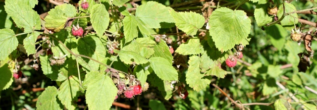 10 wild raspberries, Ruth walking the Ayrshire coastal path to Ardrossan