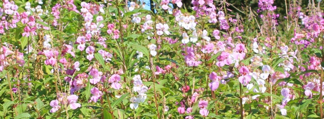 12 himalaya balsam, Ruth hiking the Ayrshire Coastal Path, Scotland