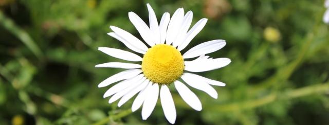17 daisies, Ruth Livingstone