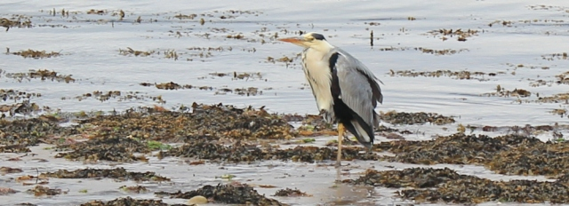 29 heron on the beach, Ruth hiking the Arran Coastal Way, Scotland