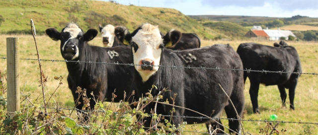 07 black baldies, cattle on Arran, Ruth Livingstone
