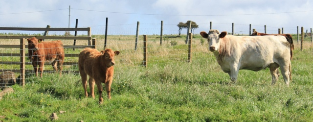 10 cows with calves, on Arran, Ruth Livingstone