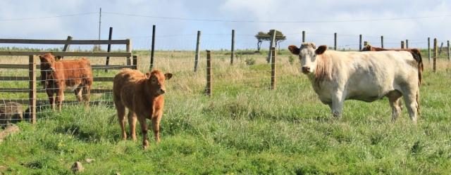 10 cows with calves, on Arran, Ruth Livingstone
