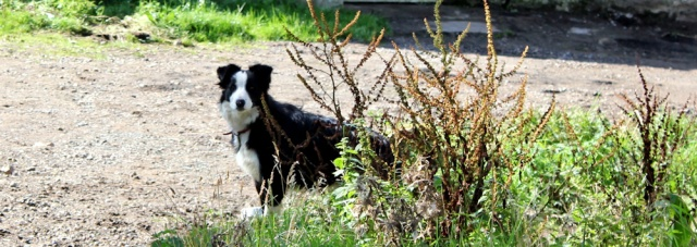 12 farmyard collie dog, Ruth hiking around Arran