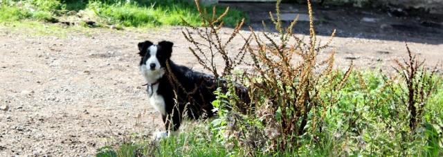 12 farmyard collie dog, Ruth hiking around Arran