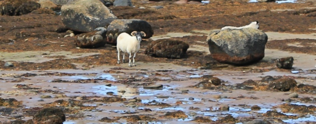 12 sheep on the beach, Ruth hiking the coast of the Isle of Arran