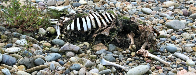 12 sheep skeleton, Isle of Arran, Ruth walking the coast