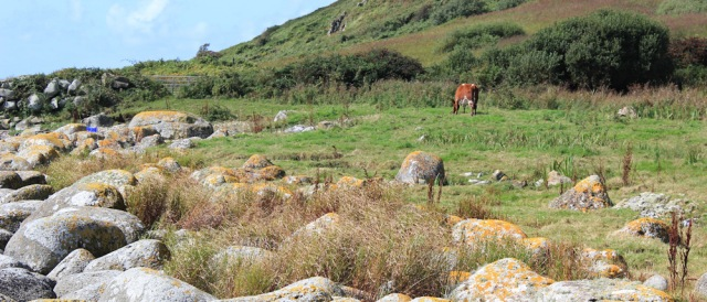 16 grazing cattle on Arran coastal way, Ruth Livingstone