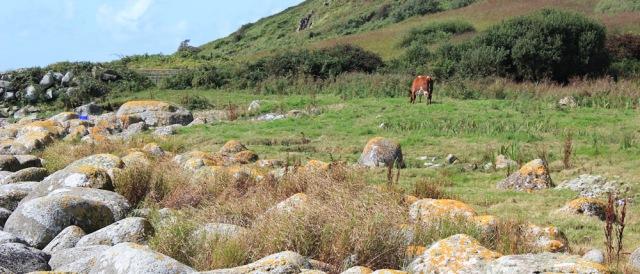 16 grazing cattle on Arran coastal way, Ruth Livingstone