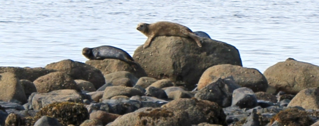 20 seals watching Ruth Livingstone, Arran