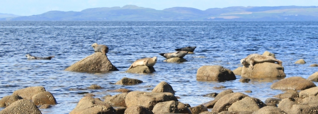 22 more seals, Arran, Ruth Livingstone