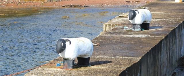 15 sheep on harbour wall, Corrie, Ruth hiking the coastal path around Arran