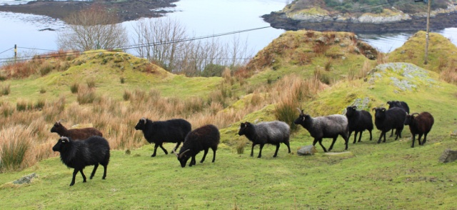 04 goats guarding Tarbert Castle, Ruth Livingstone hiking in Scotland