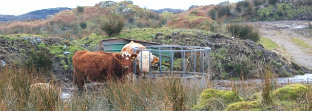 09 a bull, Ruth's coastal walk, Scotland