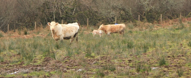 14 calves in a field, Ruth's coastal walk