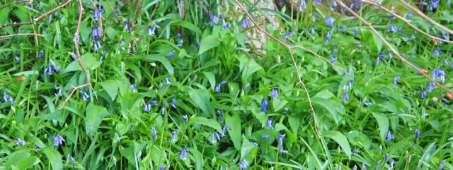04 bluebells, Ruth's coastal walk, Kintyre, Scotland