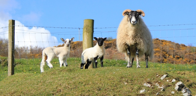 10 sheep and lambs, Mull of Kintyre, Ruth's coastal walk