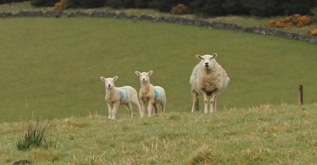 04 sheep and lambs, Ruth's coastal walk around Kintyre, Scotland