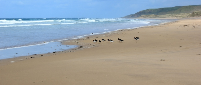 07 sand and oyster catchers, Machrihanish Bay, Ruth Livingstone