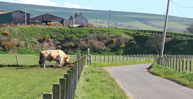 12 bull, Ruth hiking, Mull of Kintyre