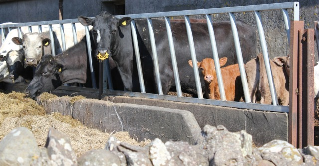 14 cows and calves in barn, Ruth's coastal walk, Mull of Kintyre