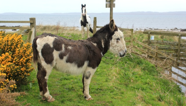 23 donkey and horse, Ruth's coastal walk, Kintyre, Scotland