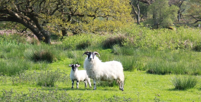 27 sheep with lamb, Ruth's coastal walk, Argyll, Scotland