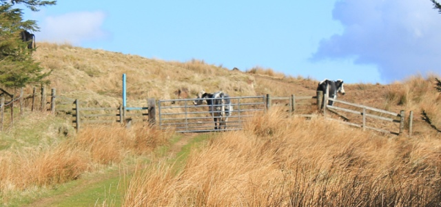 37 cows guarding the gate, Ruth Livingstone on the Mull of Kintyre