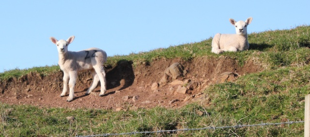 59 lambs in fields, Ruth's coastal walk, Mull of Kintyre