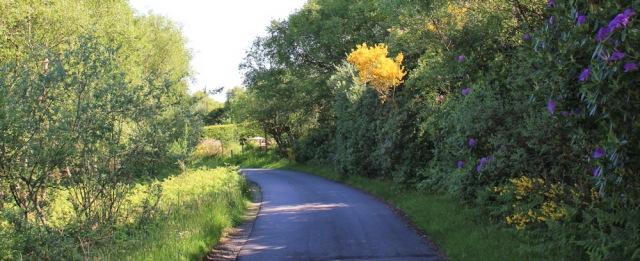 03 rhodedendrons, Ruth's coastal walk, Knapdale, Scotland