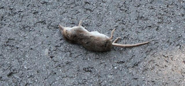 04 dead vole, Ruth's coastal walk, Knapdale, Scotland