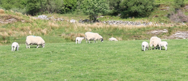 05 fields of sheep, Ruth's coastal walk, Argyll, Scotland