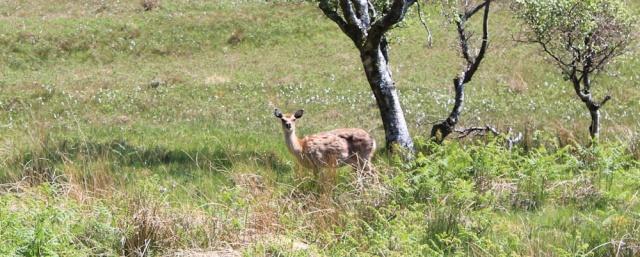 06 deer in the field, Ruth's coastal walk, Argyll, Scotland