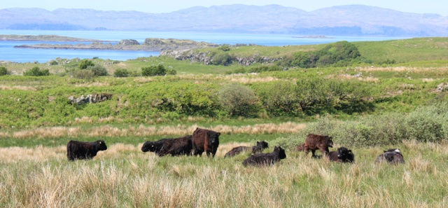13 Aberdeen Angus, Ruth hiking the road to Kilmory, Scotland