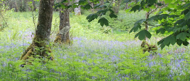 15 bluebell woods, Ruth's coastal walk, Scotland