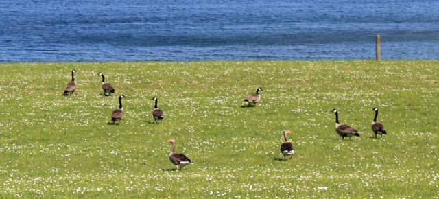 15 canadian geese, Ruth's coastal walk, Knapdale, Scotland