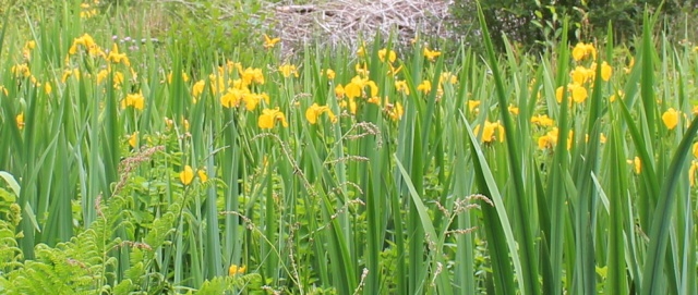 15 flag irises, Ruth's coastal walk around Scotland, Loch Melfort