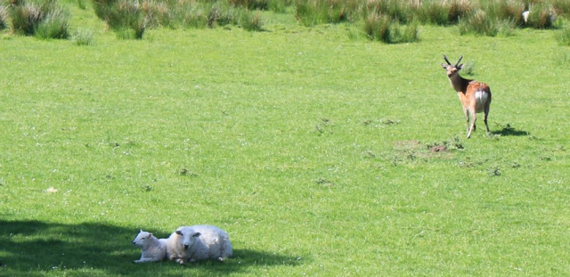 16 deer among sheep, Ruth's coastal walk, Knapdale, Scotland