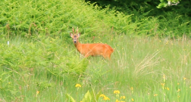 18 deer in field, Loch Melfort